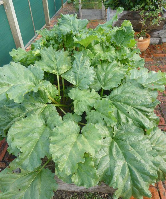 12.rhubarb
