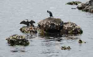 33.cormorants