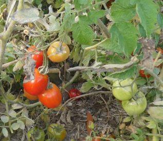 8.tomatoes