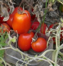 9.tomatoes
