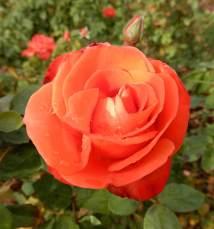 11.rose