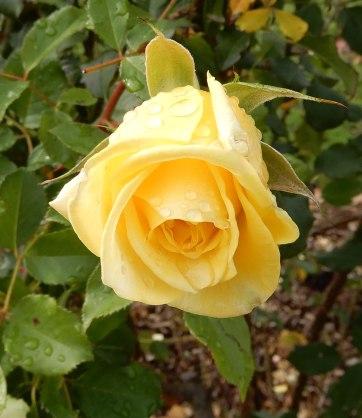 12.rose