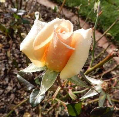 14.rose