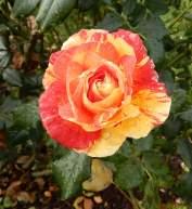 16.rose