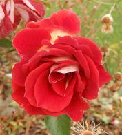 17.rose