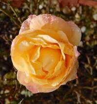 18.rose