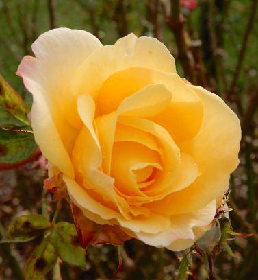 19.rose