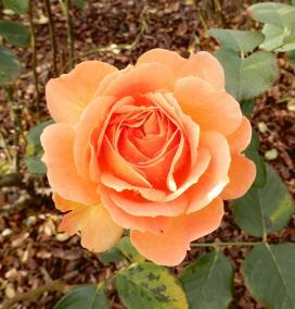 20.rose