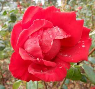 21.rose