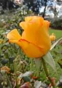 24.rose