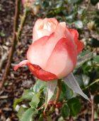 25.rose