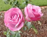 26.rose