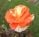 27.rose