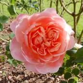 29.rose
