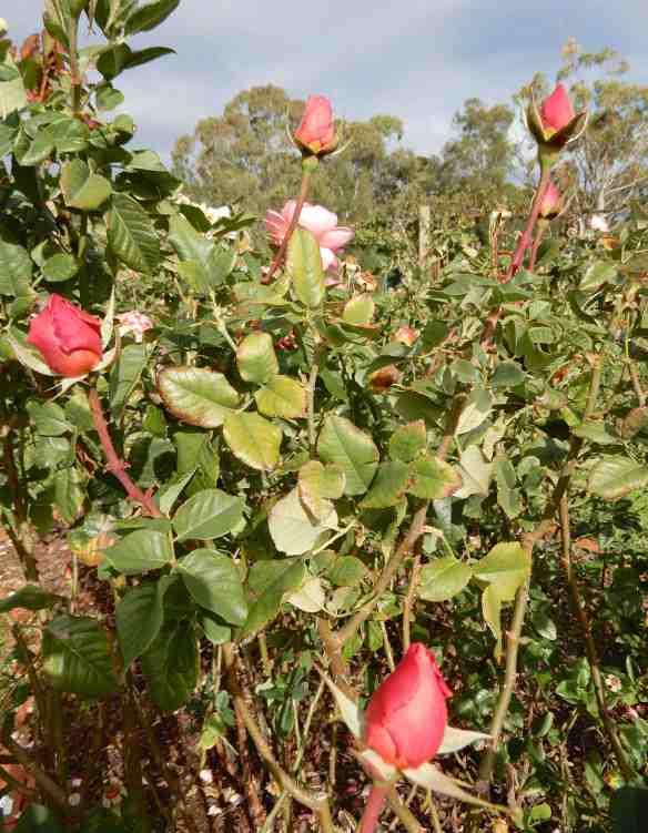 31.roses
