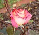 34.rose