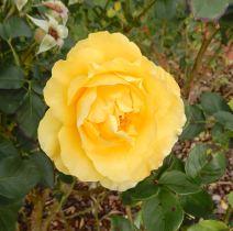 36.rose