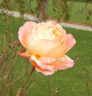 37.rose