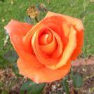 38.rose
