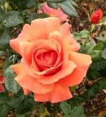 6.rose