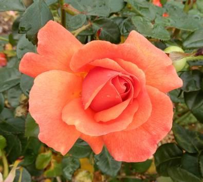 7.rose