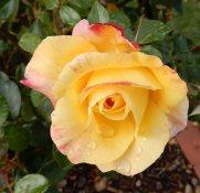 9.rose