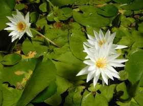 15.lotus flower