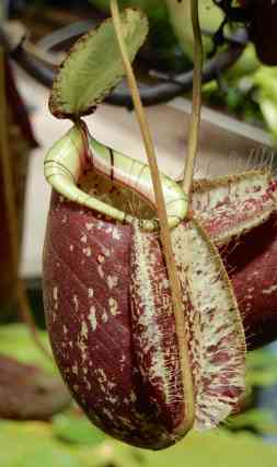 17.pitcher plant