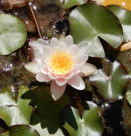 42.water lily