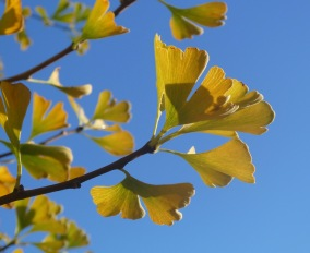 10.ginkgo leaves