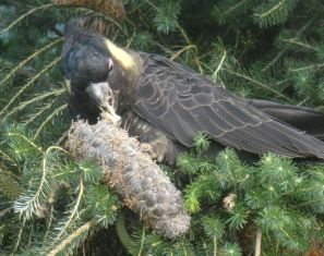 10.yellow tailed black cockatoo