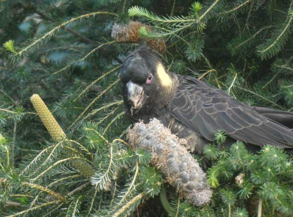 11.yellow tailed black cockatoo