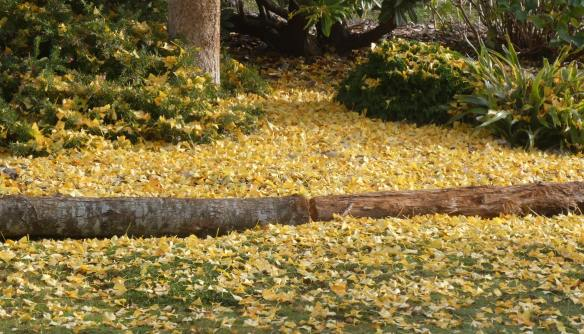 12.ginkgo leaves