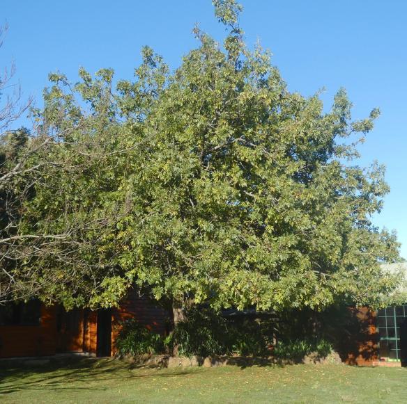 14.Ash tree