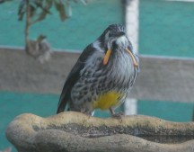 14.yellow wattlebird