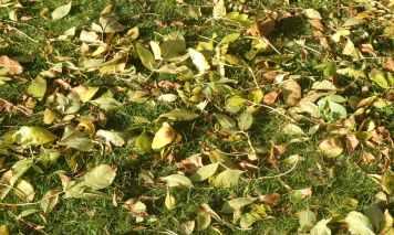 16.Ash leaves