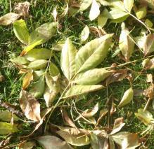 17.Ash leaves