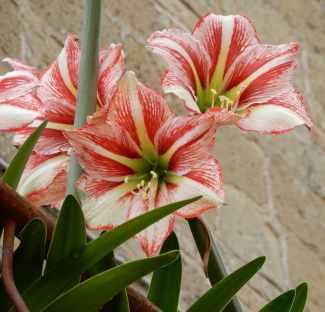 17.lilies