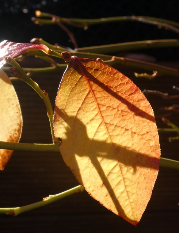 7.blueberry leaf