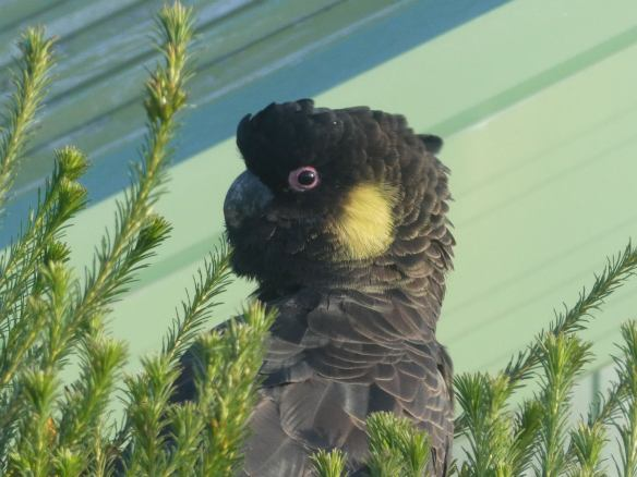 8.yellow tailed black cockatoo