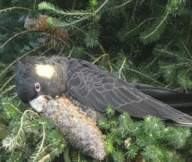 9.yellow tailed black cockatoo